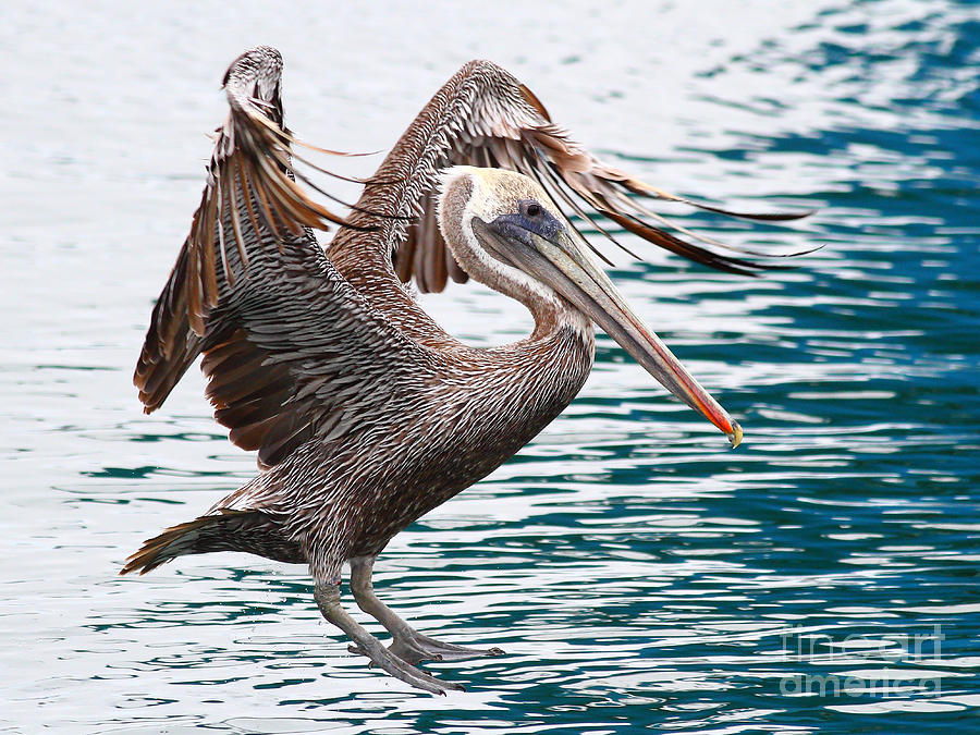Brown Pelican . 7d8253 Photograph  - Brown Pelican . 7d8253 Fine Art Print