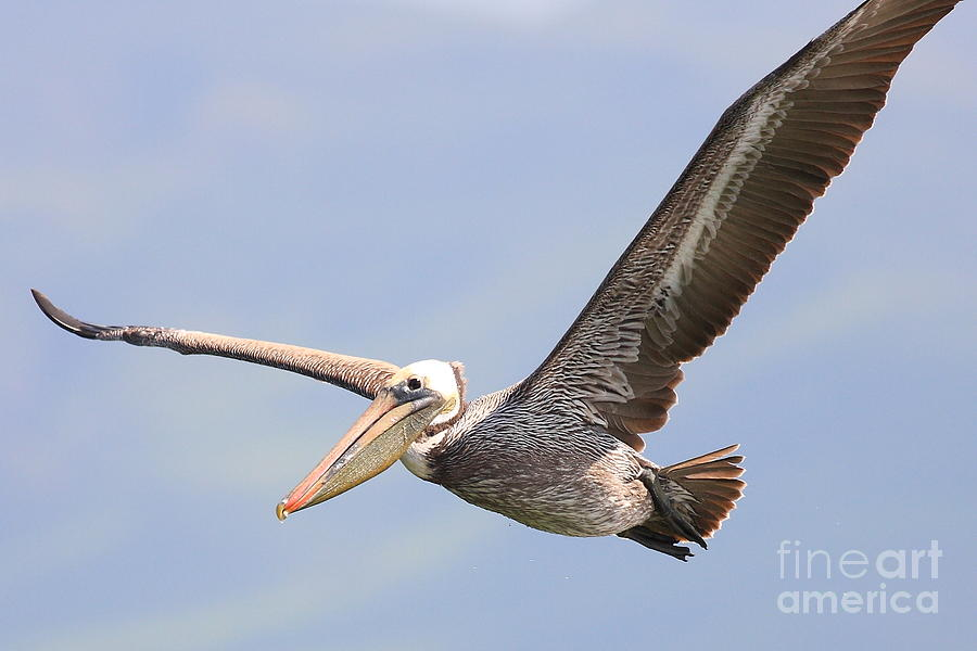 Brown Pelican Flying Photograph  - Brown Pelican Flying Fine Art Print