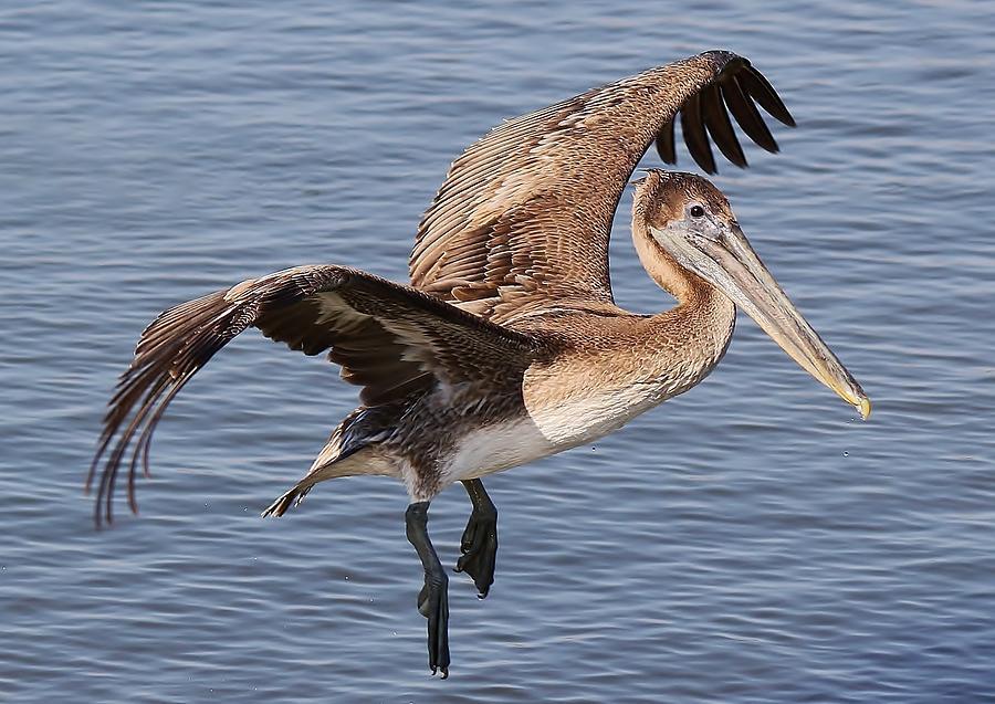Brown Pelican In Flight Photograph