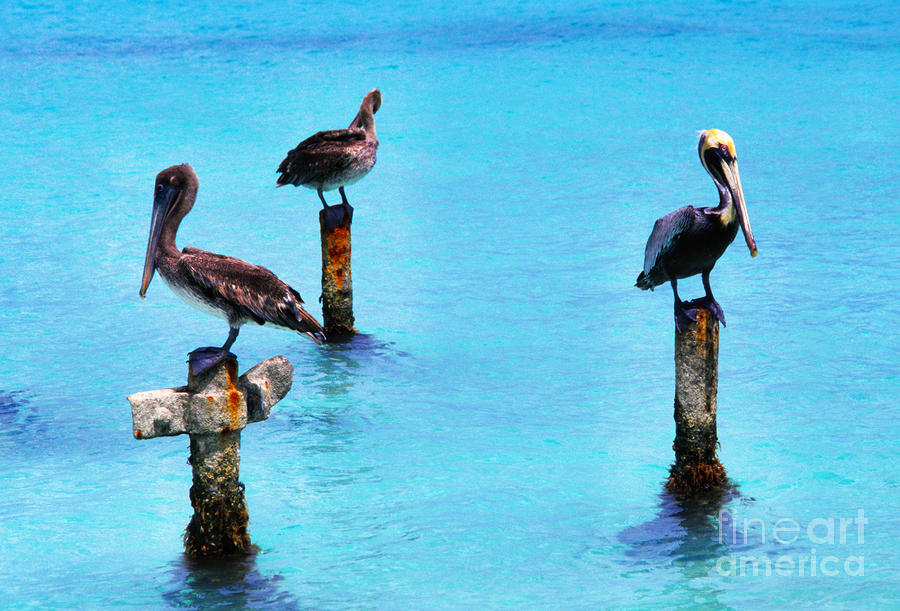 Brown Pelicans Photograph - Brown Pelicans In Aruba by Thomas R Fletcher