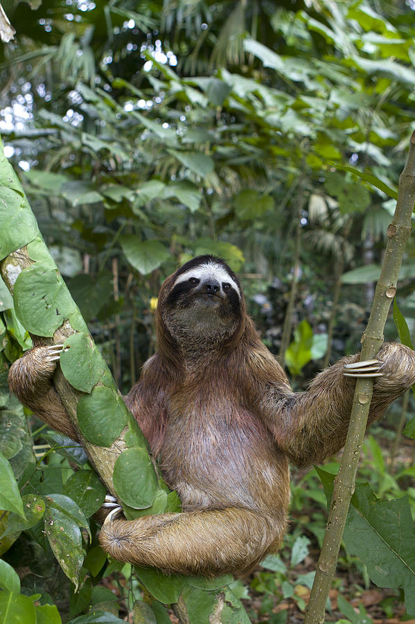 Brown Throated Three Toed Sloth Male Photograph