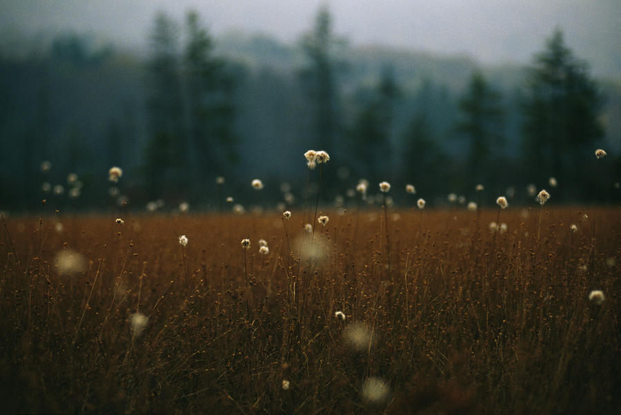 Browned Autumn Field Of Cotton Grass Photograph