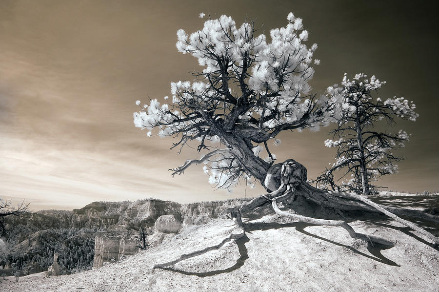 Bryce Canyon Tree Sculpture Photograph