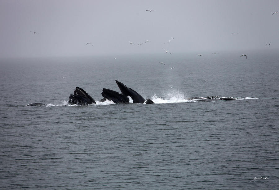 Whales Photograph - Bubble Netting Whales In Alaska by Gary Gunderson