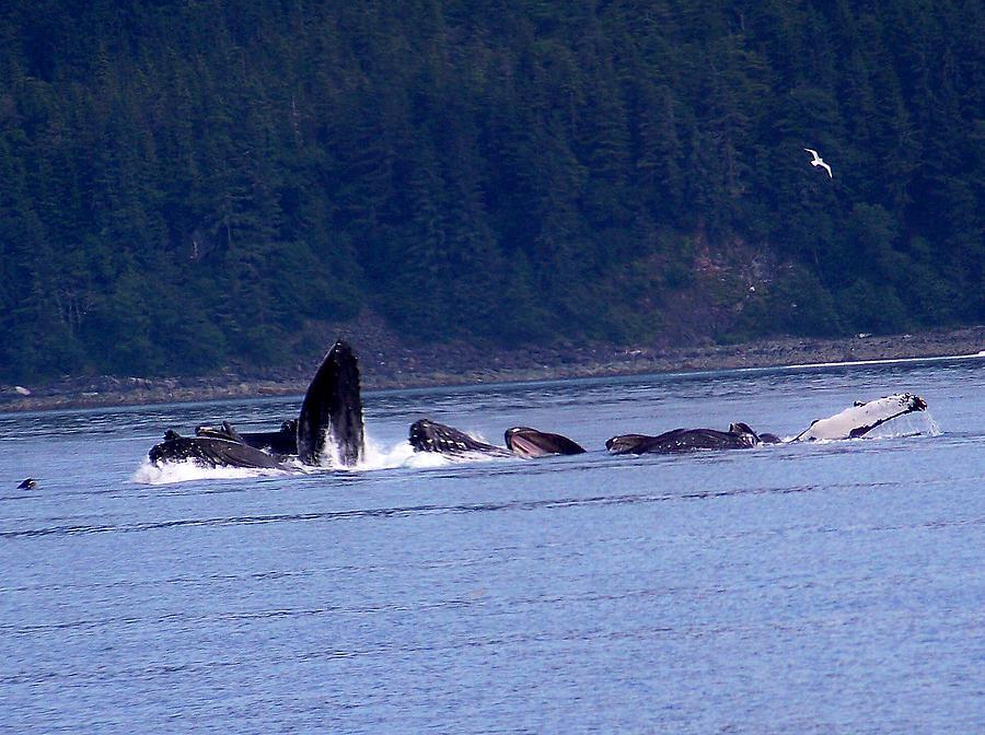 Alaska Photograph - Bubblenet Fishing by Judy Wanamaker