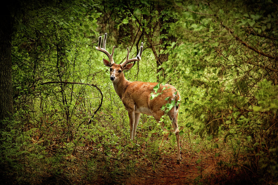 Buck In Full Velvet Photograph  - Buck In Full Velvet Fine Art Print