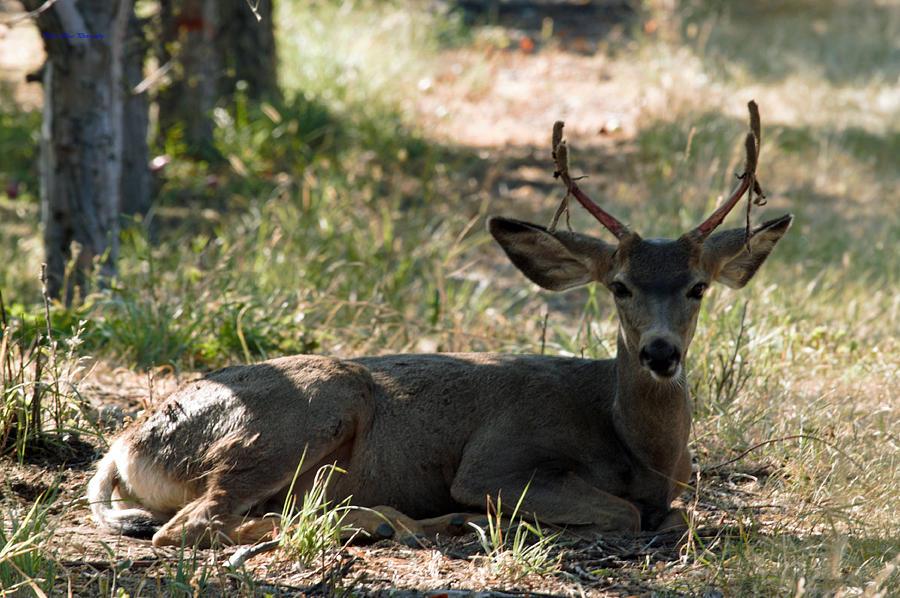 Deer Photograph - Buck Losing Velvet by Ed Nicholles