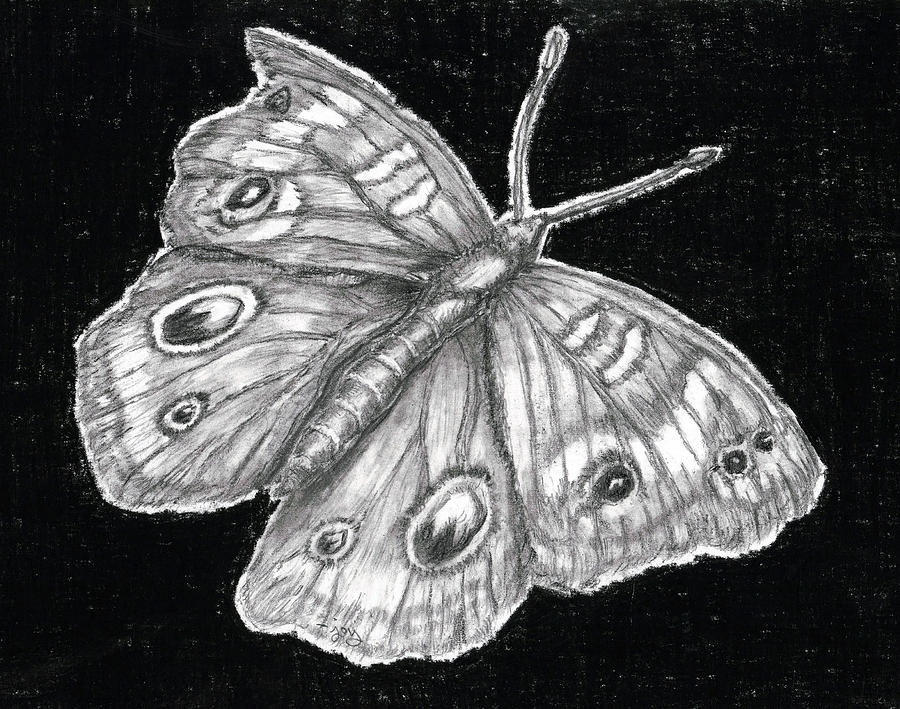 Buckeye Butterfly Drawing  - Buckeye Butterfly Fine Art Print