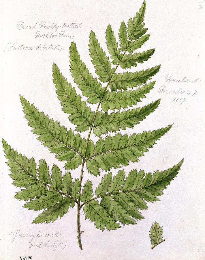 buckler fern painting by wj linton