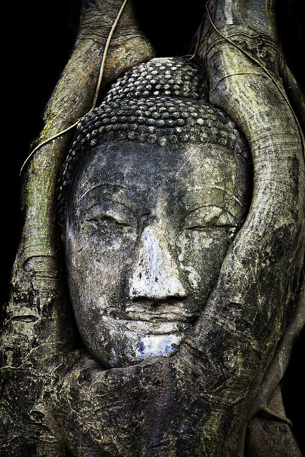 Buddha Head In Banyan Tree Photograph  - Buddha Head In Banyan Tree Fine Art Print