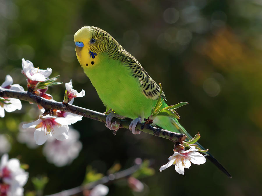 Budgie Perching On Cherry Branch Photograph  - Budgie Perching On Cherry Branch Fine Art Print
