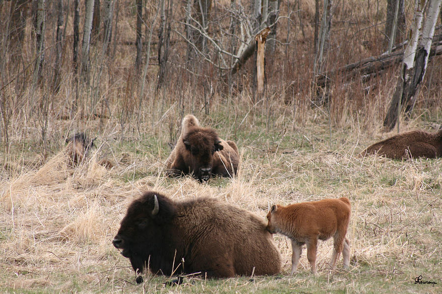 Buffalo And Calf Photograph  - Buffalo And Calf Fine Art Print