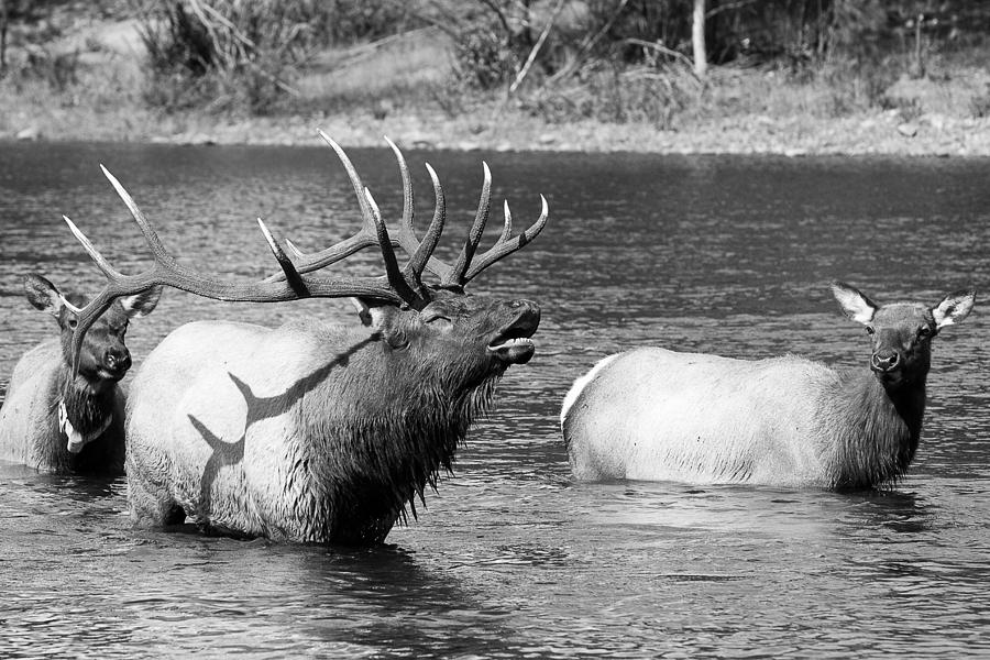 Bugeling Bull Elk And 2 Female Cows In Estes Lake  Co Bw Photograph  - Bugeling Bull Elk And 2 Female Cows In Estes Lake  Co Bw Fine Art Print