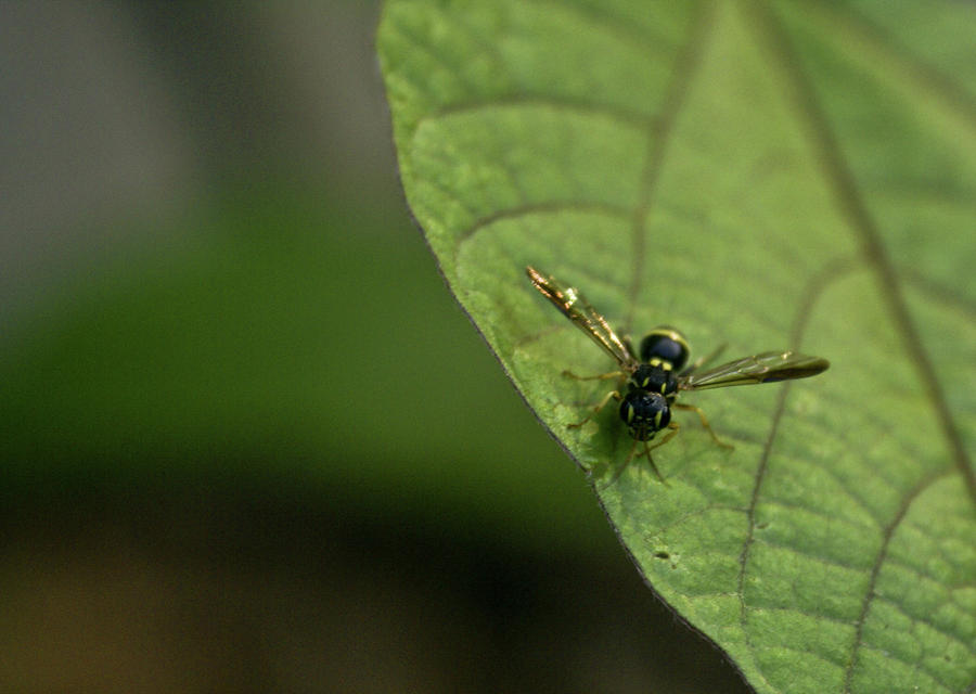 Bugeyed Fly Photograph