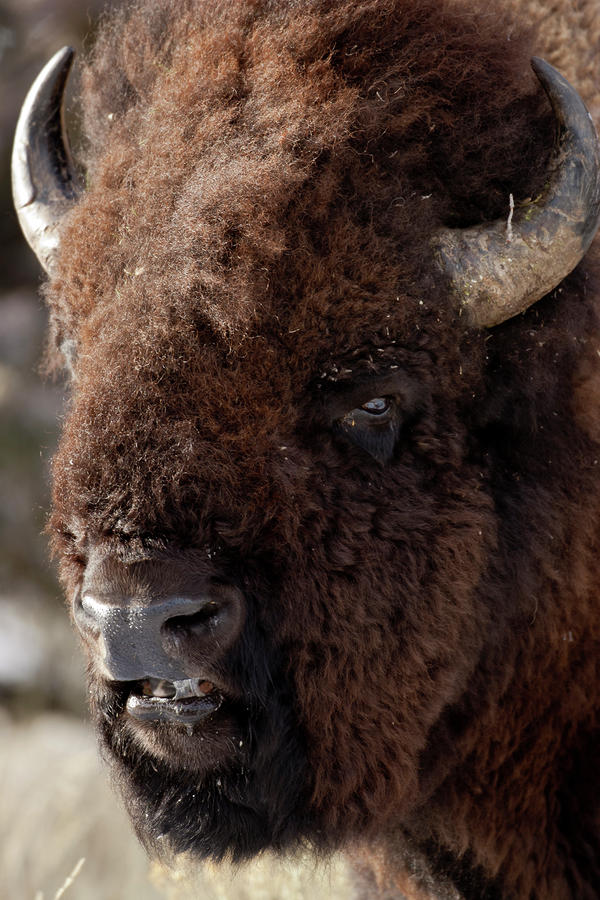 Bull Bison Photograph