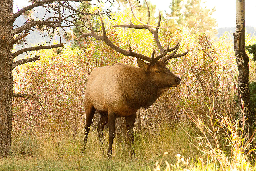 Bull Elk In The Brush  Photograph  - Bull Elk In The Brush  Fine Art Print