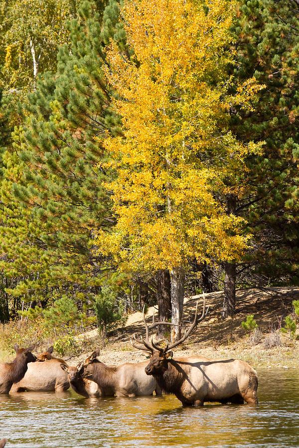 Bull Elk Watching Over Herd 3 Photograph