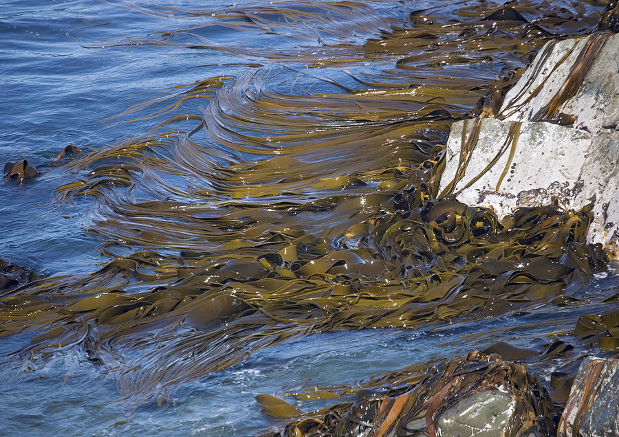 Bull Kelp Bed Photograph
