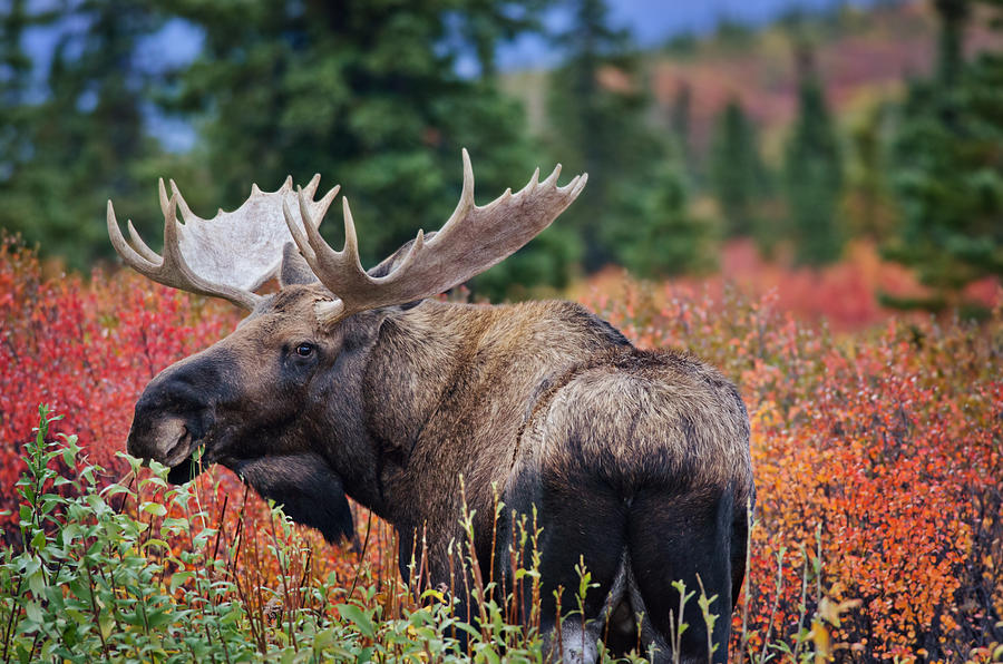 Animals Photograph - Bull Moose In The Fall Colors by Thomas Payer