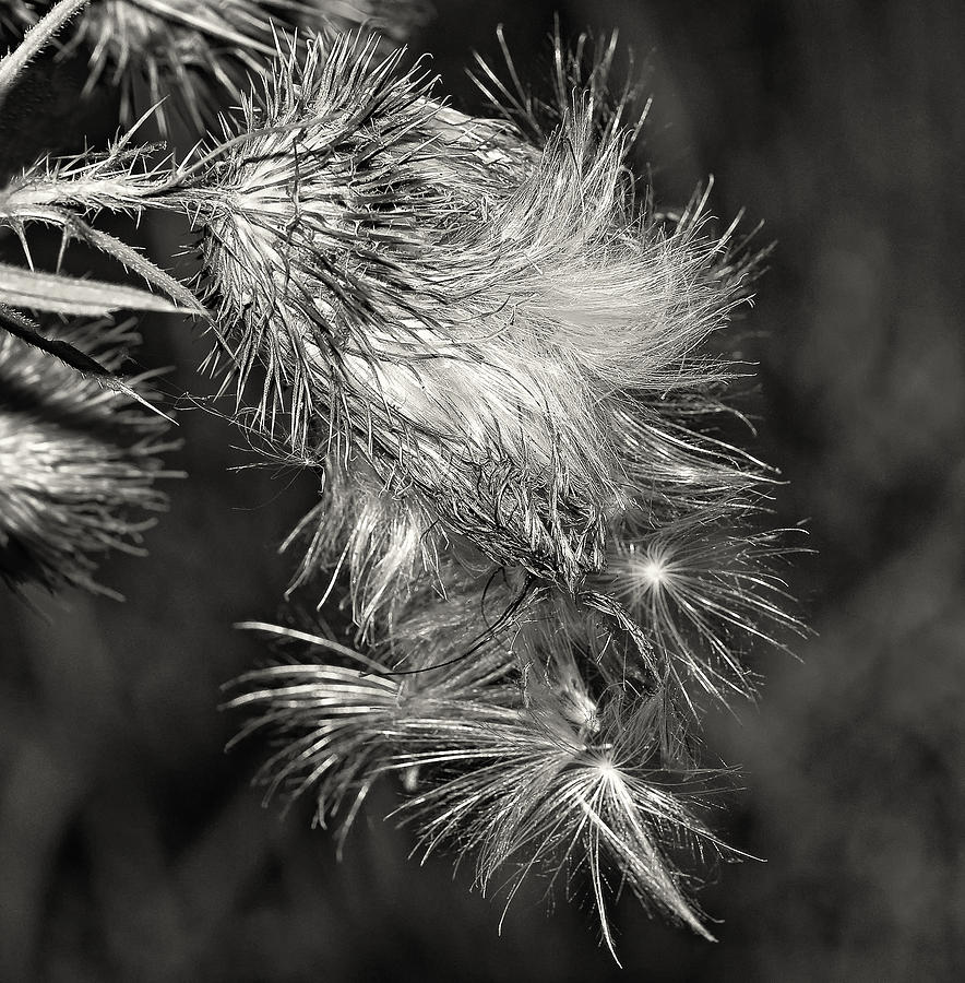 Flowers Photograph - Bull Thistle Monochrome by Steve Harrington