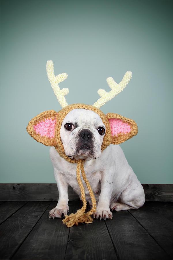 Bulldog Con Disfraz De Reno Photograph