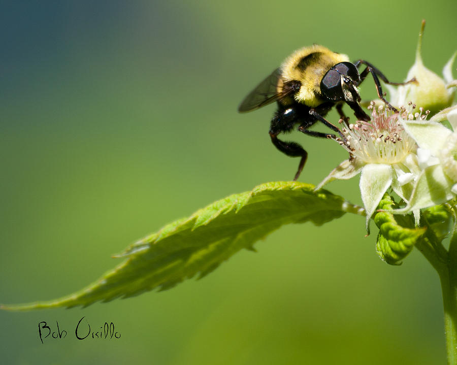 Bumble Bee Photograph  - Bumble Bee Fine Art Print