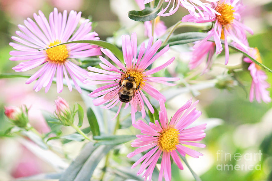 Bumble Bee On Asters Photograph  - Bumble Bee On Asters Fine Art Print
