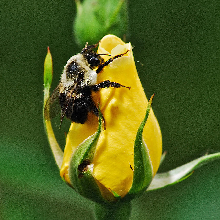 Bumble Bee On Rose  Photograph