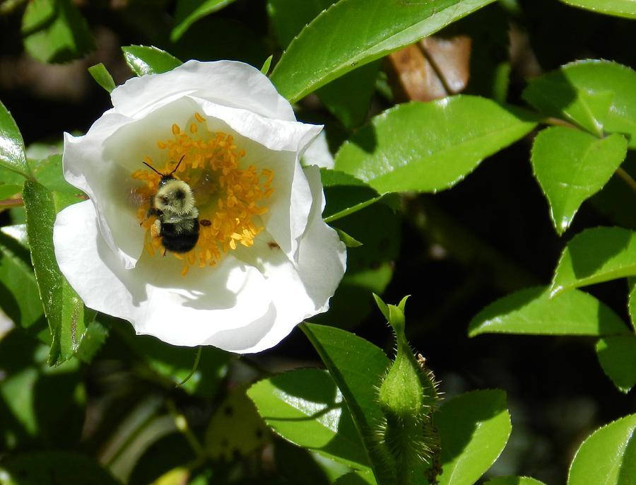 Bumblebee Photograph