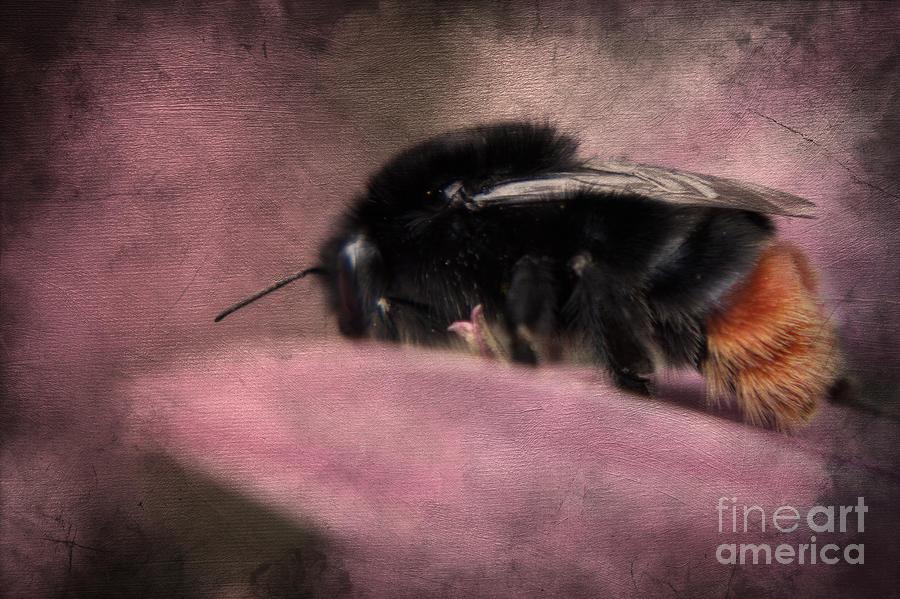 Bumblebee II Photograph