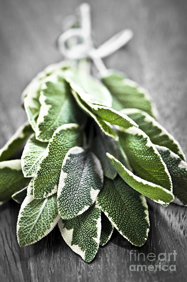 Bunch Of Fresh Sage Photograph  - Bunch Of Fresh Sage Fine Art Print
