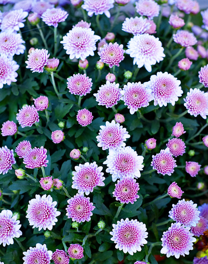 Bunch Of Pink Photograph