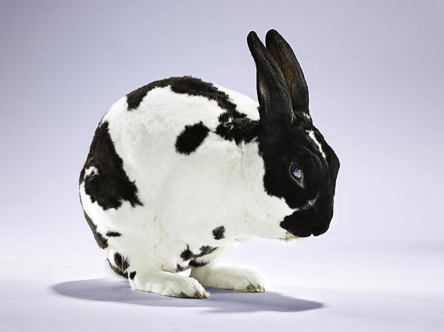 Bunny Rabbit Cleaning Itself Photograph
