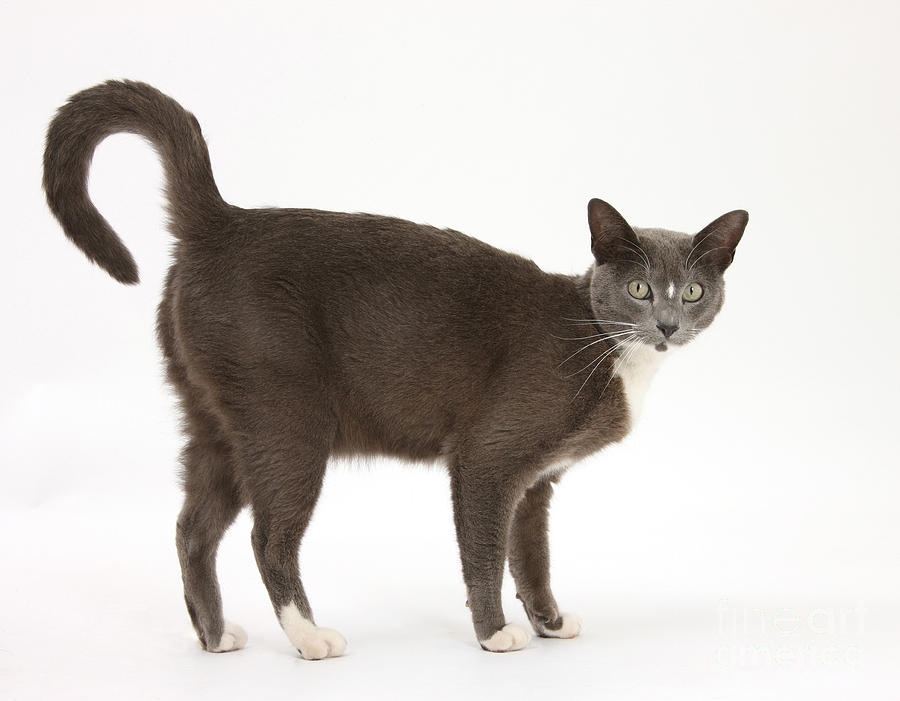 Burmese-cross Cat Photograph