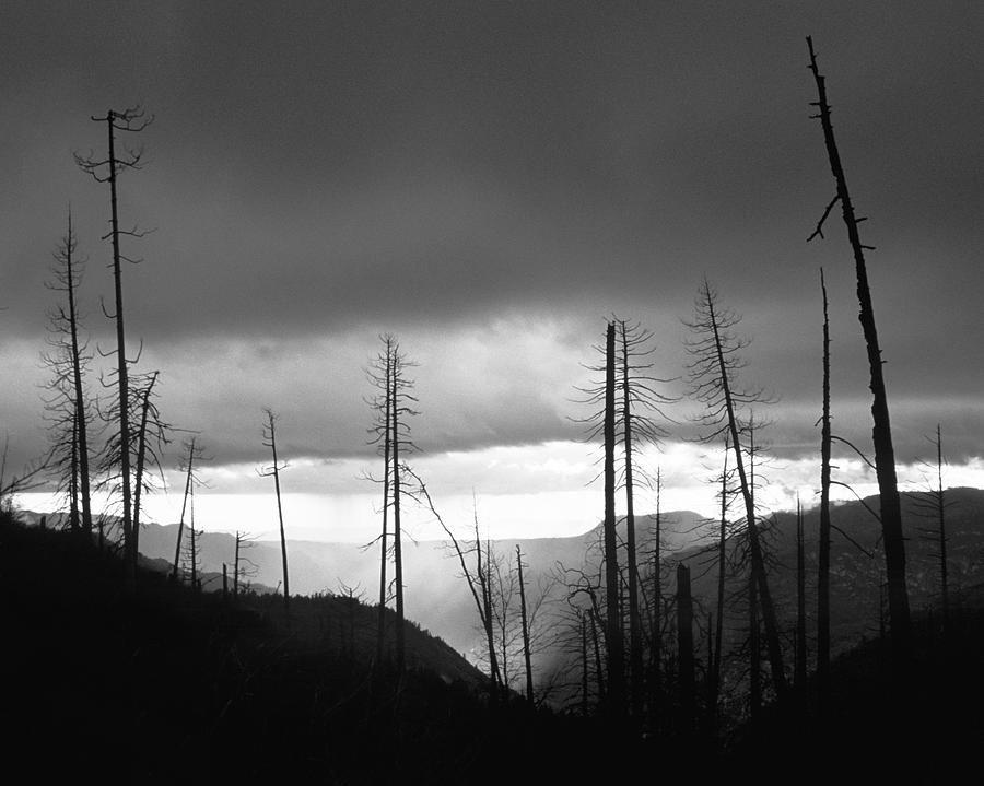 Burnt Forest II - Yosemite Photograph
