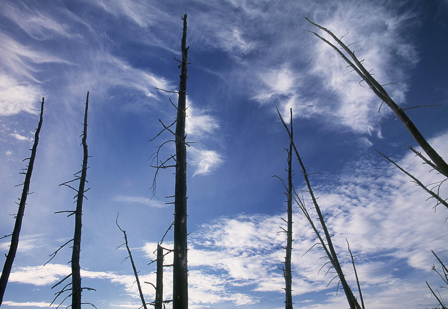 Burnt Trunks Of Black Spruce, Boggy Photograph
