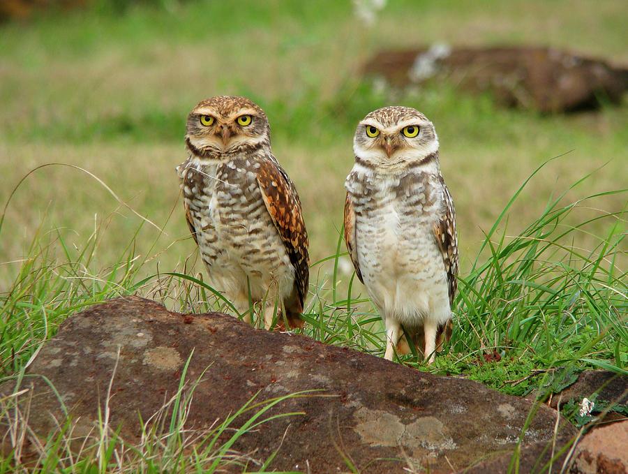 Horizontal Photograph - Burrowing Owl by Antonello