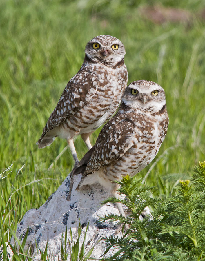 Burrowing Owl Pair Photograph  - Burrowing Owl Pair Fine Art Print
