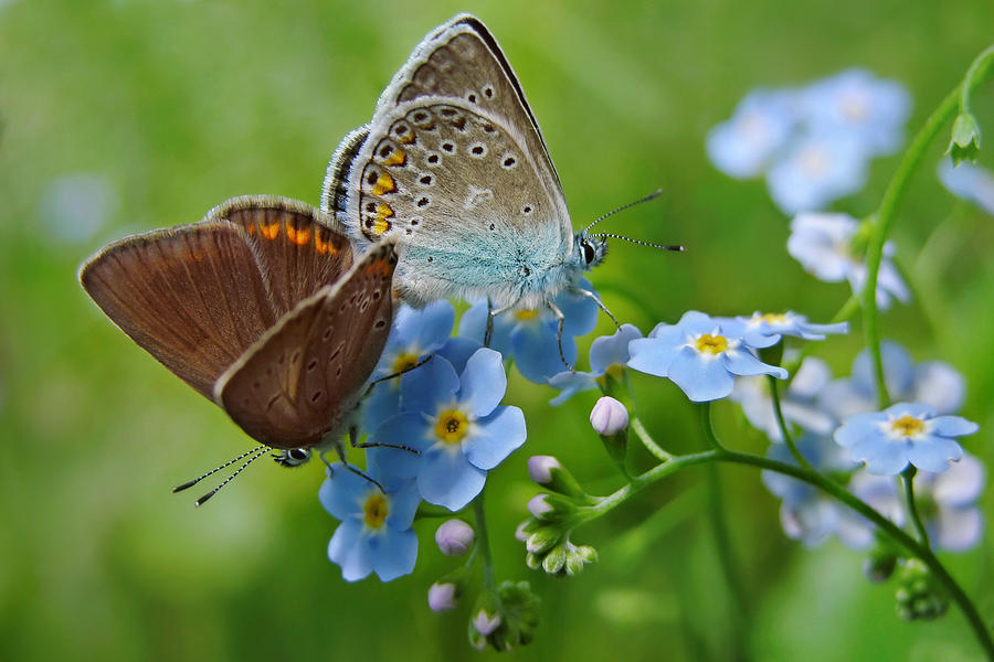 http://images.fineartamerica.com/images-medium-large/butterflies-and-forget-me-not-flowers-marek-mierzejewski.jpg
