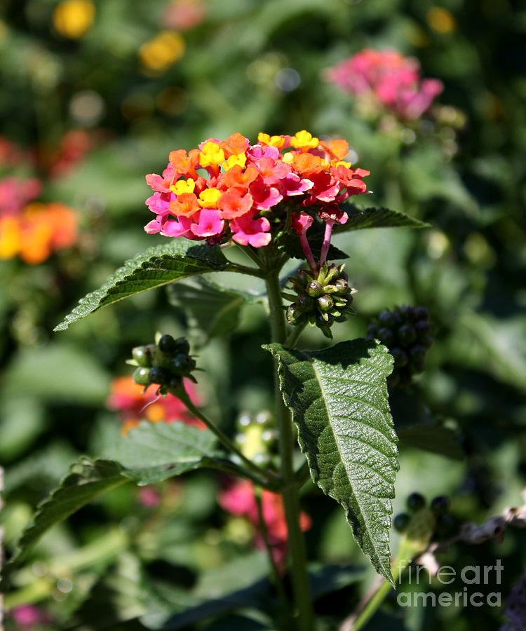 Butterfly Bush Photograph