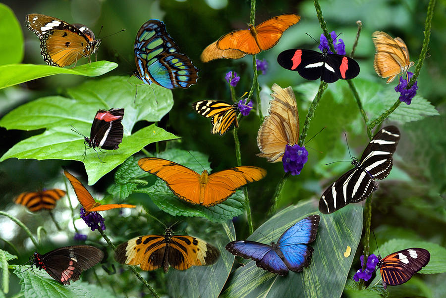 Butterfly Collage Photograph  - Butterfly Collage Fine Art Print