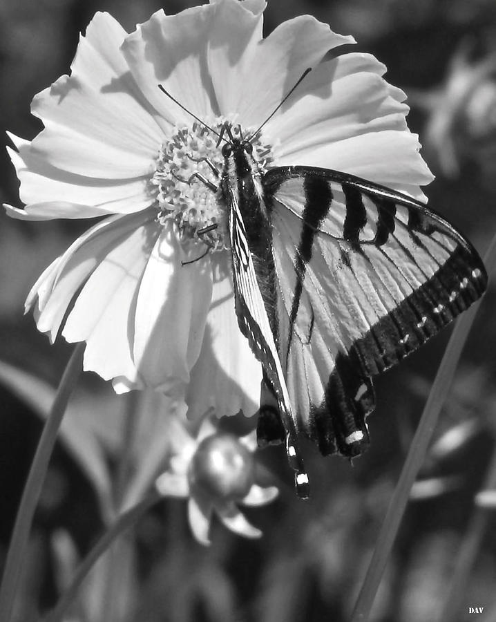 Butterfly Collection Black White Photograph