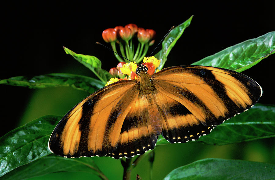 Butterfly Dryadula Heliconius Feeding Photograph  - Butterfly Dryadula Heliconius Feeding Fine Art Print