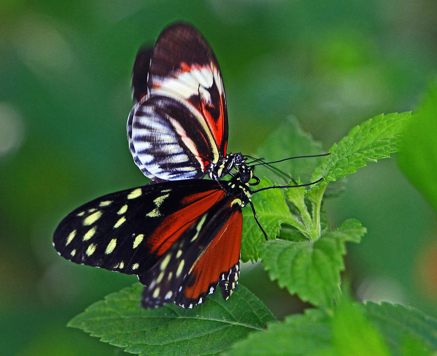 Butterfly Kisses Photograph by Larry Nieland