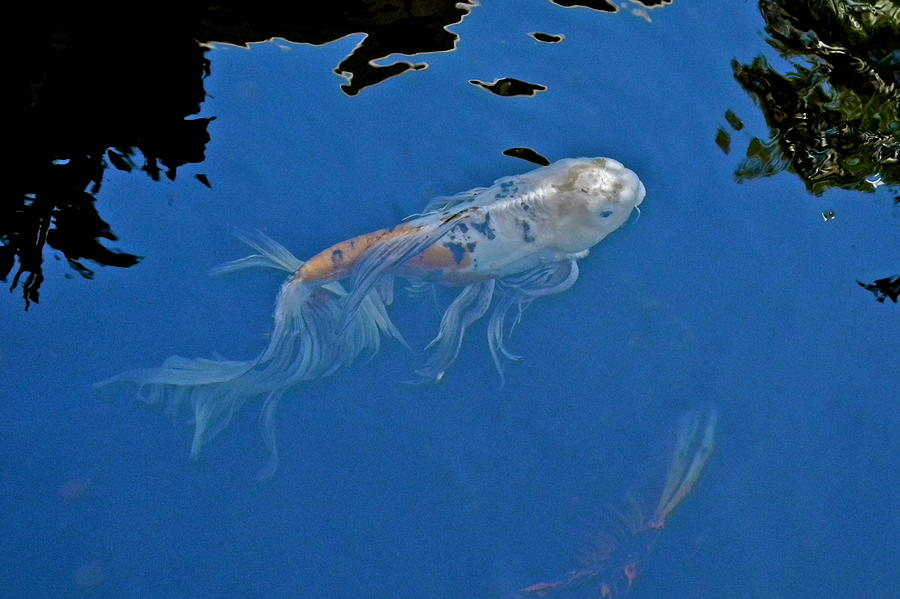 Butterfly Koi In Blue Sky Reflection Photograph