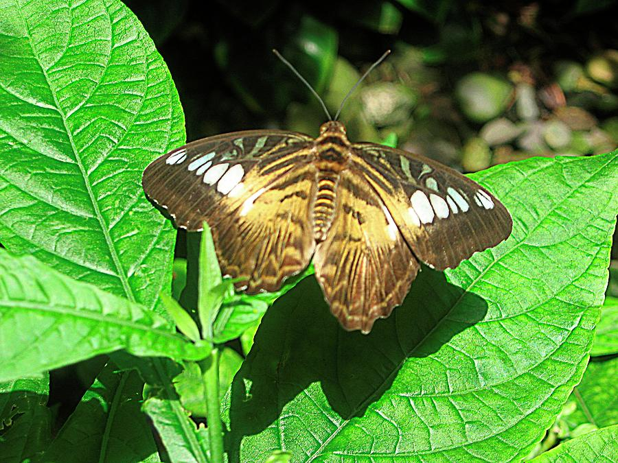 Butterfly Of Brown Wings On Green  Photograph