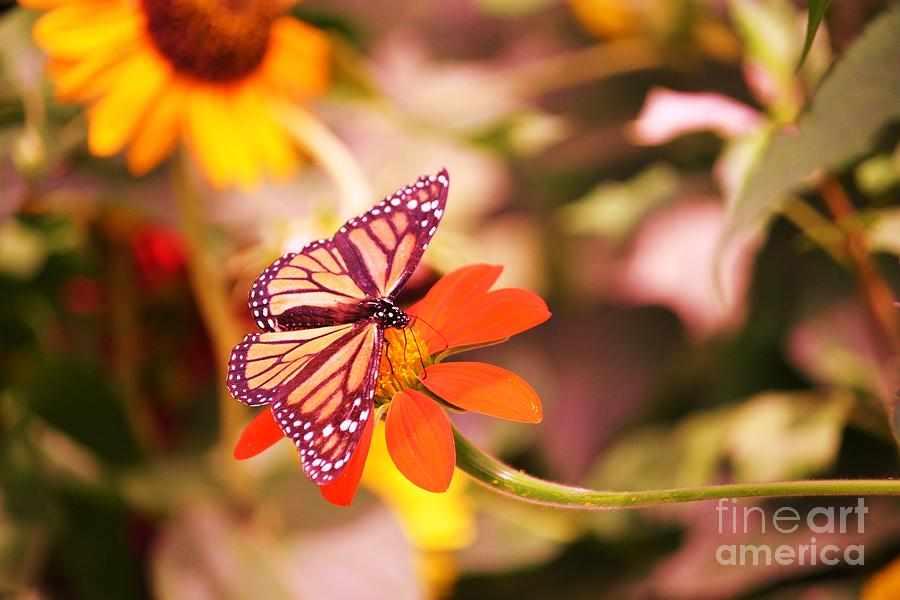 Butterfly On Flower 2 Photograph  - Butterfly On Flower 2 Fine Art Print
