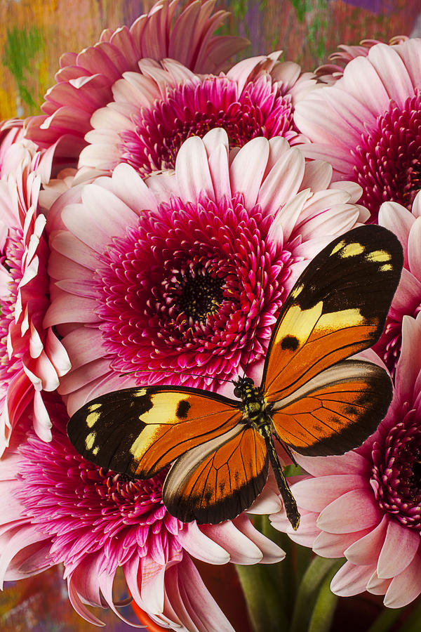 Butterfly On Pink Mum Photograph  - Butterfly On Pink Mum Fine Art Print