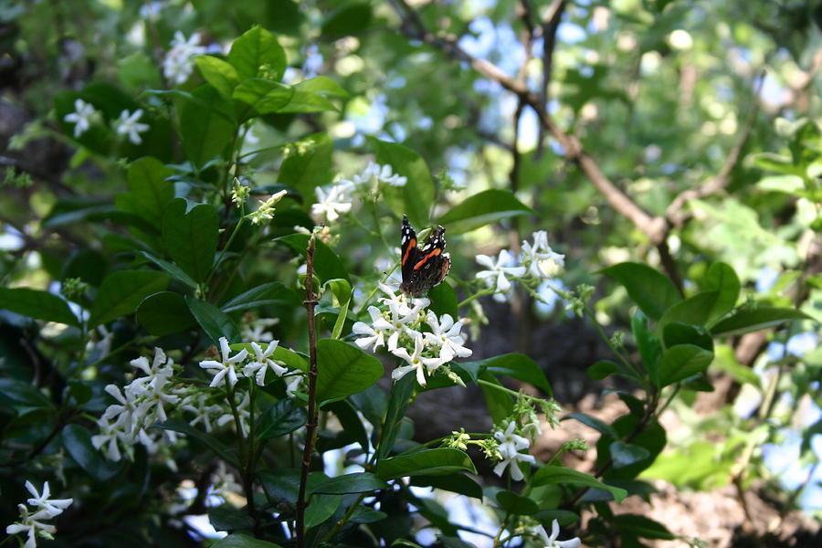 Image result for white jasmine