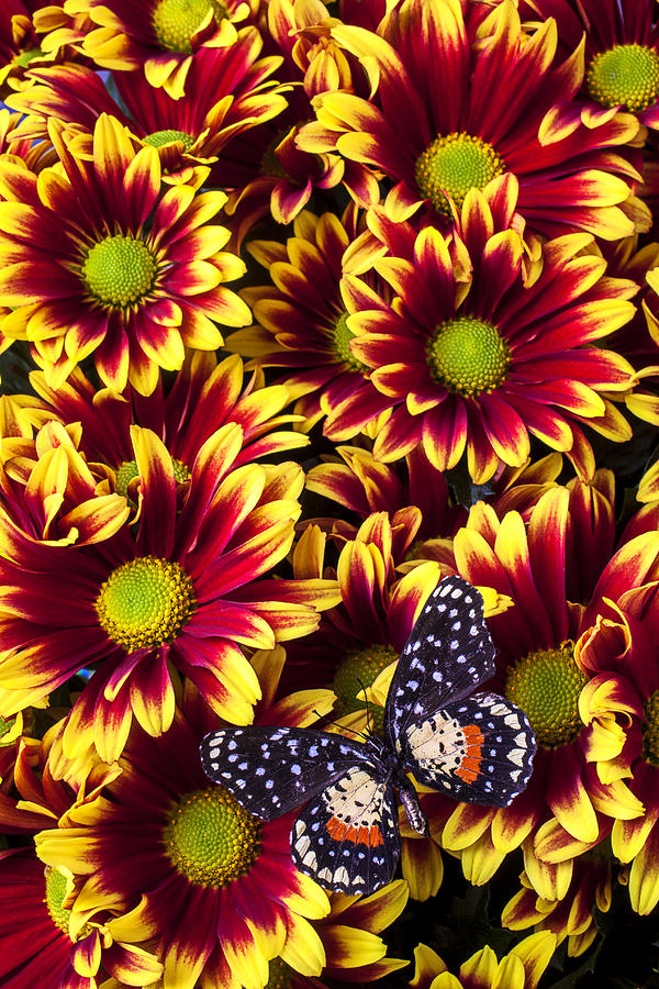 Red Yellow Daisies Photograph - Butterfly On Yellow Red Daises  by Garry Gay